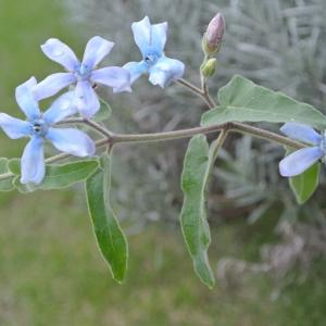 オキシペタラム&カラーリーフに適した植物