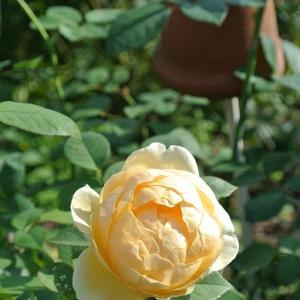 秋バラ2&秋咲ジャーマンアイリスと寄せ植え