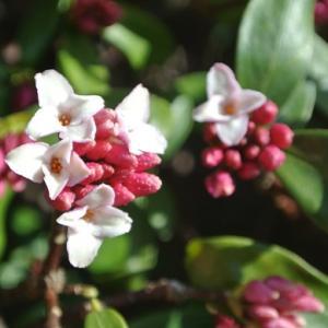 香りの沈丁花&ジャガイモの芽だし