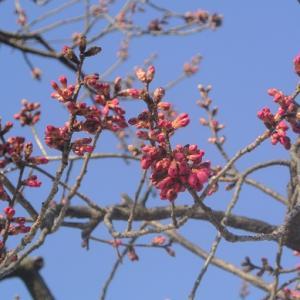 もうすぐ寒緋桜とトサミズキ