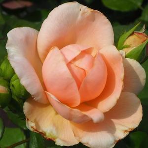 6月のバラ達