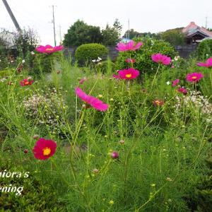 コスモス咲く野趣あふれるフロントガーデン