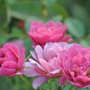 残暑のバラ達
