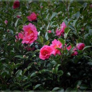 庭に咲くサザンカ