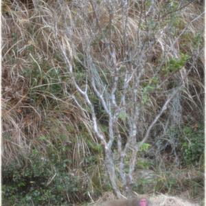 キンカンの木に登る