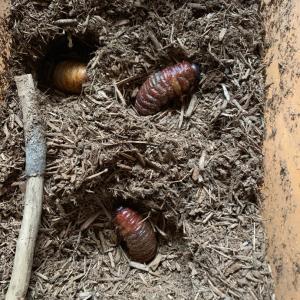 初めてのカブトムシの飼育