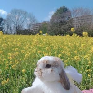昭和記念公園の菜の花畑