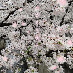 今年もお花見は目黒川