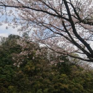 桜舞い散る青野原オートキャンプ場で久しぶりのソロキャンプ。