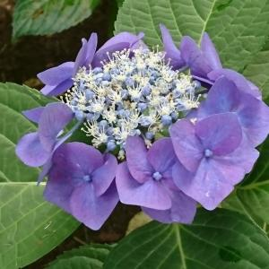 額紫陽花に癒される