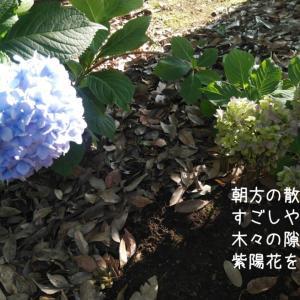フォトコト『朝方の散歩道 すごしやすい気温の中 木々の隙間に 紫陽花を見つけた』