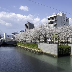 桜シリーズ・・①高知市堀川