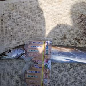 クログチはナンボでも釣れるのに・・・