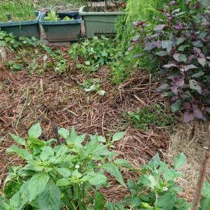 茅の利用で土壌改良