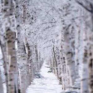 白樺の蒸留
