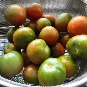 実家のトマト事情