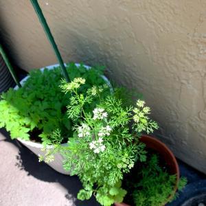 シラントロ、コリアンダー、パクチー...の花