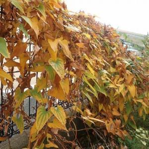 秋の庭@むかご収穫