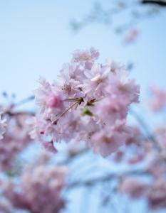 満開のしだれ桜*