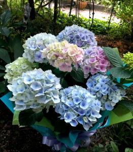 紫陽花いろいろ*