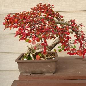 紅紫檀の紅葉