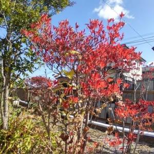 自宅も紅葉です