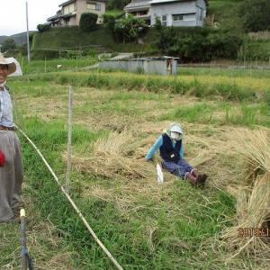 続々~台風対策!!赤米様脱穀