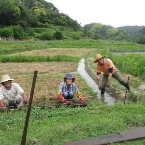2020赤米様 御田植開始