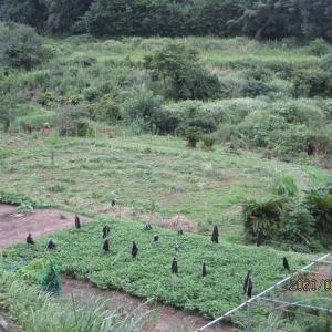明日は大豆の種まきです