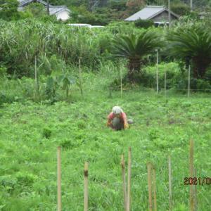 大豆の草刈りマルチ 1