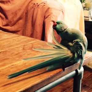 #ワカケホンセイ #インコ #鳥
