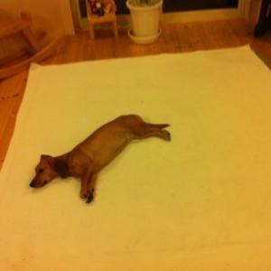 ホットカーペットの温かさを最大限に活用する愛犬 絵柄見たい(笑)