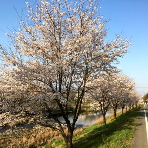 2020桜の季