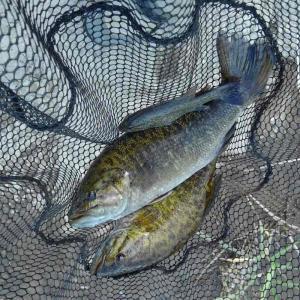 山形県ブラックバス等外来魚リリース禁止から2年