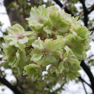 みどりの桜花は御衣黄