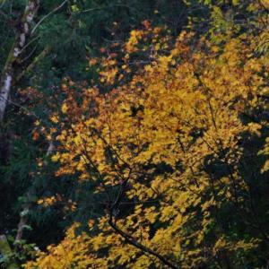 椛と水楢の黄葉