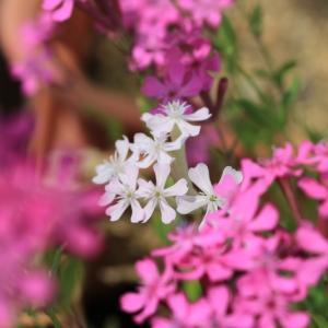 白花虫取りナデシコ咲きました