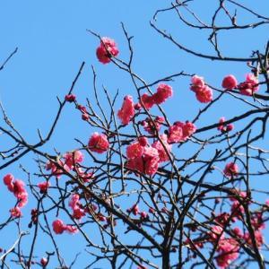 梅の花探しながら利根西へ、上州武尊山眺めて、国分寺跡まで。今日は検査日なので、前夜はちょいと贅沢…