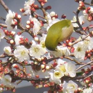 城東町の梅の木でメジロの群れに出会って、真珠を採ったあとのあこや貝の貝柱を食べました