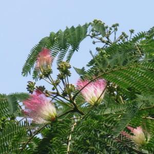 ネムの花が咲いて、栗の毬の赤ん坊見っけて、そうそう、前橋るなぱあくは6月15日から平日営業を再開するって!
