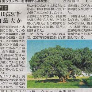 国内最大? 桃ノ木川のアカメヤナギが上毛新聞を飾った日は、2年ぶりの梅の日干し作業、梨の水キムチも出来上がって、猛暑だったけど良き日でした