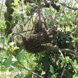 分蜂とニンニクの芽