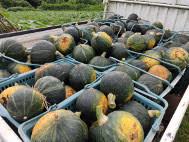 南瓜の収穫とお野菜。