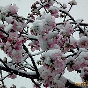 雪見桜サンデー