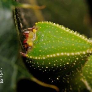 クチバスズメ幼虫