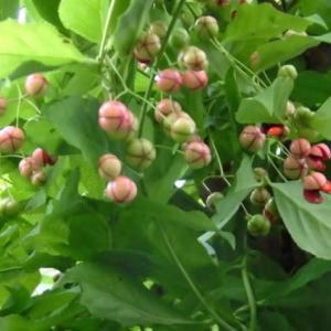 旭川 ツリバナ(吊り花)の実がはじけました。