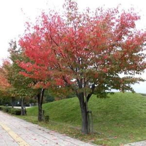 旭川 桜紅葉が