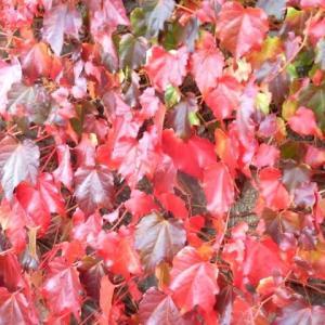 旭川 美しい蔦の紅葉2020年10月
