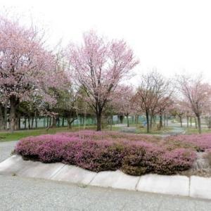 旭川 「井上靖通り・春の広場」2019・山桜