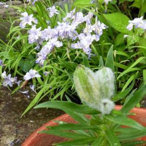 礼文姫スカシユリ・1本の茎に蕾が三個つきました。